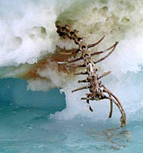 Misterioso esqueleto gigante visto en un iceberg de Terranova ¿Un plesiosaurio?