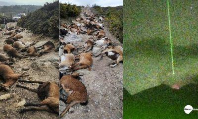 Extraño rayo hace explotar desde el interior a 68 cabras en Portugal