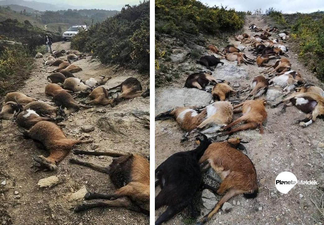 Extraño rayo causa la muerte de 68 cabras en Portugal
