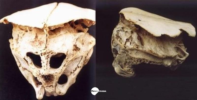 Vistas del cráneo de Ródope
