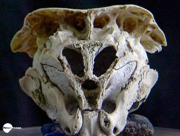Cráneo de Ródope